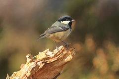 Coal Tit (Periparus ater). Coal Tit on broken stump of wood in Cairngorms National Patk, Scotland Stock Photography