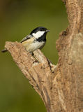 Coal Tit Periparus ater Royalty Free Stock Photography