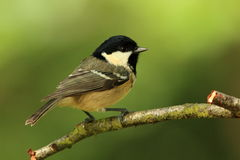 Coal Tit (periparus ater). A small coal tit on a branch royalty free stock images