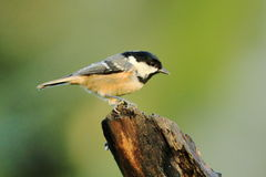 Coal Tit (periparus ater). A small coal tit on a tree stump royalty free stock images