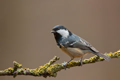 Coal tit  (Periparus ater). Coal tit on a twig (Periparus ater Royalty Free Stock Photography