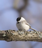 Coal Tit ( Periparus ater ) Stock Photography