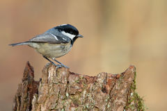 Coal Tit. Periparus ater. Royalty Free Stock Photography