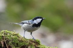 Coal Tit. Periparus ater. Royalty Free Stock Photo