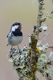 Coal tit. Periparus ater. Stock Photography