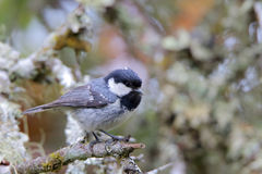 Coal tit. Periparus ater. Royalty Free Stock Image