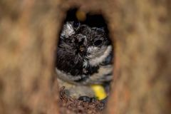 Coal tit Periparus ater bird looks out of a hollow. In a tree royalty free stock images