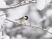 Coal tit, Periparus ater. Single bird on branch in snow, Worcestershire, December 2017 Stock Image