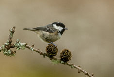 Coal Tit. Periparus ater  on larch branch Stock Images