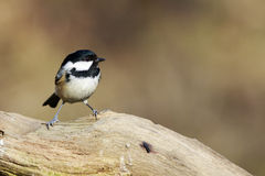 Coal Tit (Periparus ater) Stock Photo
