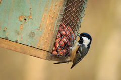 Coal Tit (Periparus ater) Royalty Free Stock Image