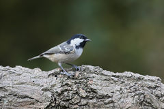 Coal tit, Periparus ater Royalty Free Stock Image
