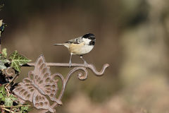 Coal tit, Periparus ater Stock Photography
