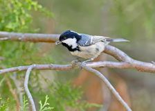 The coal tit Periparus ater sits on a branch. With a seed of thuja in its beak Royalty Free Stock Photography