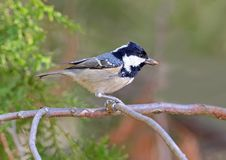 The coal tit Periparus ater sits on a branch. With a seed of thuja in its beak. Another name of this tit is `moscowka Royalty Free Stock Images
