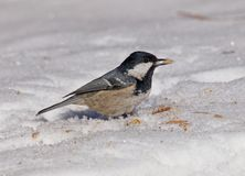 Coal tit (Periparus ater) on snow Stock Images