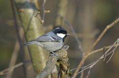 Coal tit (Periparus ater) Royalty Free Stock Photography