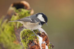 Coal tit. Photo of coal tit standing on a moss covered stump Royalty Free Stock Photography