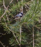 Coal Tit on a pine tree Stock Photo