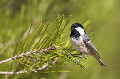 Coal Tit on A Pine Tree (Parus ater). A coal tit is perching on a pine tree branch Stock Images