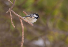 Coal Tit on a pine tree twig Royalty Free Stock Images