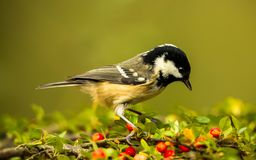 Coal Tit on Red Berries and green foliage royalty free stock photo