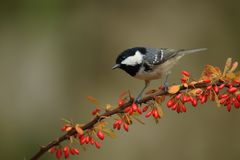 Coal tit in red branch Stock Images
