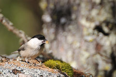 Coal Tit on a rock Stock Image