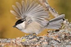 Coal Tit on a rock with open wing Stock Photos
