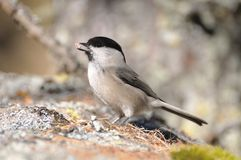 Coal Tit on a rock, side view Royalty Free Stock Images