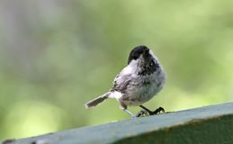 Coal tit sitting on the Board Royalty Free Stock Image
