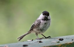 Coal tit sitting on the Board Stock Photo