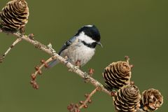 Coal tit. Sitting on a branch Stock Images