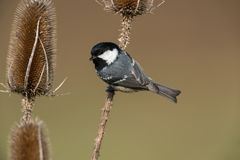 Coal tit. Sitting on a branch Stock Photography