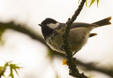 Coal tit sitting on branch stock photo