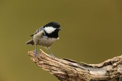 Coal tit. Sitting on a branch Royalty Free Stock Photography