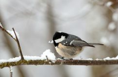 Coal Tit sitting on a branch Stock Photos