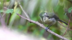 An coal tit. Sitting on the branches of a bush resting stock video footage