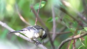 An coal tit. Sitting on the branches of a bush resting stock footage