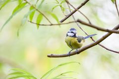 Coal tit. An coal tit sitting on the branches of a bush resting Stock Image