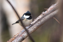 Coal tit is sitting on a tree branch having lifted up the head o Stock Photos