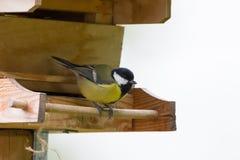 Coal tit, small passerine bird in yellow perching on wooden bird royalty free stock image