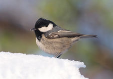 Coal Tit on Snow Stock Image