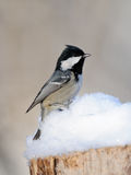 Coal Tit in snow Royalty Free Stock Image