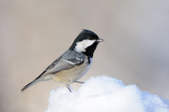 Coal Tit in snow Stock Photos