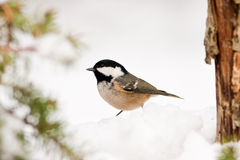 Coal Tit in Snow with Pine Tree Detail Royalty Free Stock Photos