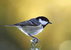 Coal tit on a snowy fir branch Stock Photo