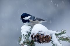 Coal Tit, songbird on snowy spruce tree branch with snow, winter scene. Snow on spruce tree cone. Bird in cold winter. Wildlife sc. Ene from winter Stock Photos
