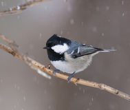 Coal Tit on Stick. In snow storm at Moscow State University Biostation Stock Image
