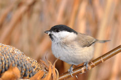 Coal tit with sunflower Royalty Free Stock Photos